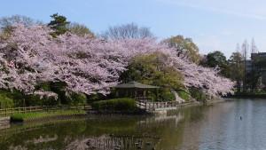 刈谷亀城公園のさくら20153