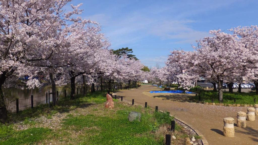 刈谷亀城公園のさくら20152