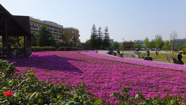 刈谷市ミササガ公園芝桜