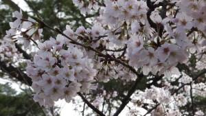 刈谷亀城公園の桜201604025