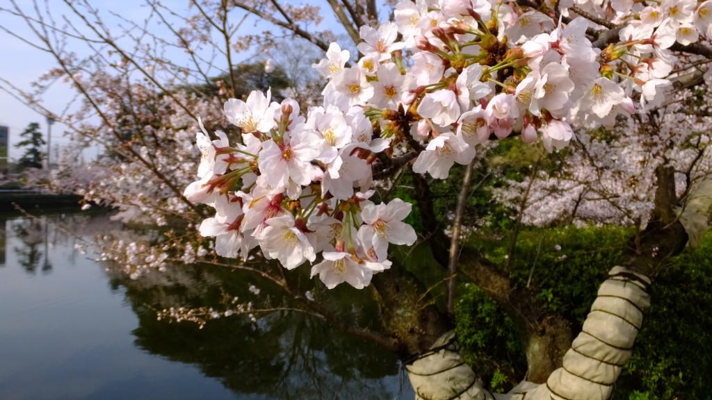 刈谷亀城公園の桜201604023