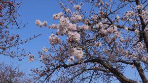 刈谷市亀城公園桜2017